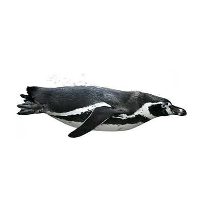 Image of penguin regarding Google SEO Penguin Algorithm